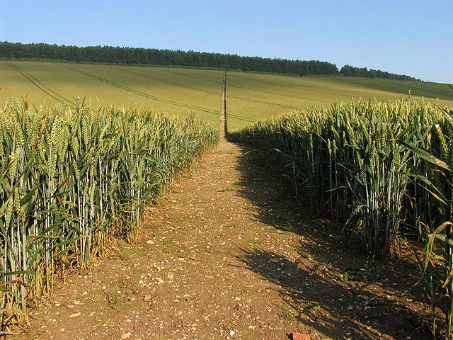 Footpath cutting through the Wheat Field