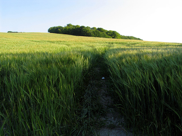 Barley Field and Knighton Hill