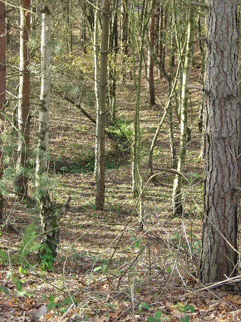Ditch Bend in a Shallow Re-Entrant in a Coniferous Wooded Part of Tilgate Forest, Nr Crawley, West Sussex