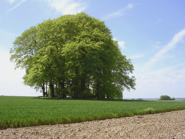 Beech clump in an arable field at Cheesefoot Head