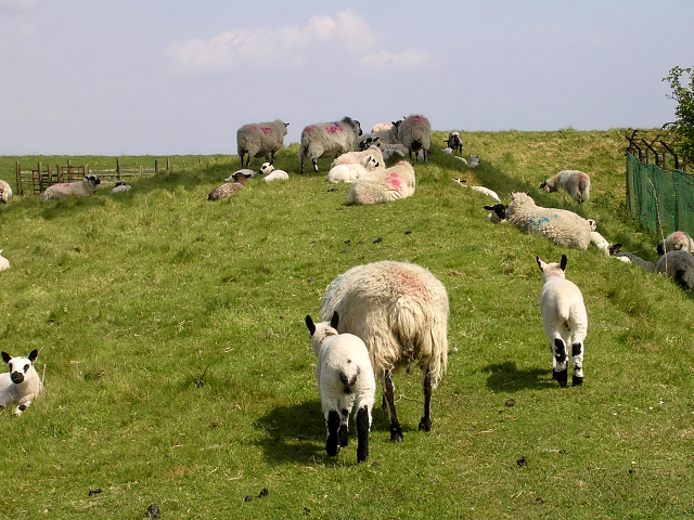 Sheep resting in the shade of the radio mast, Butser Hill