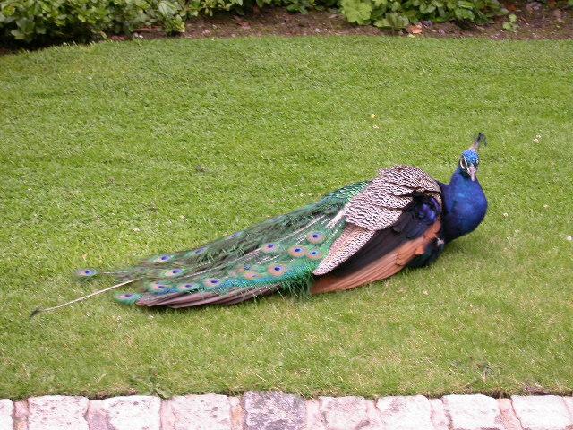 Powis Castle Peacock