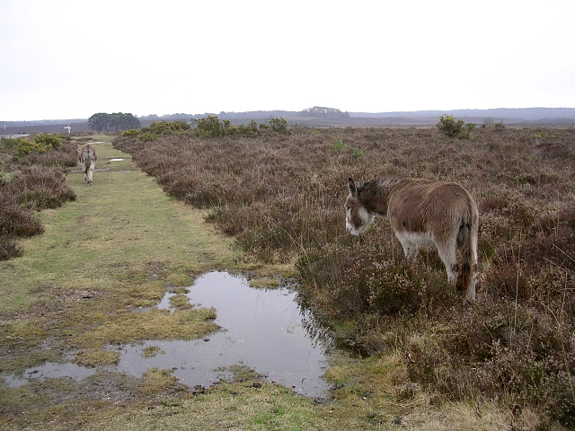New Forest donkeys southeast of Beaulieu Road station, New Forest