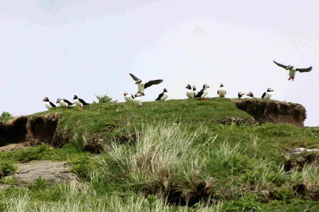 Puffins on Mingulay