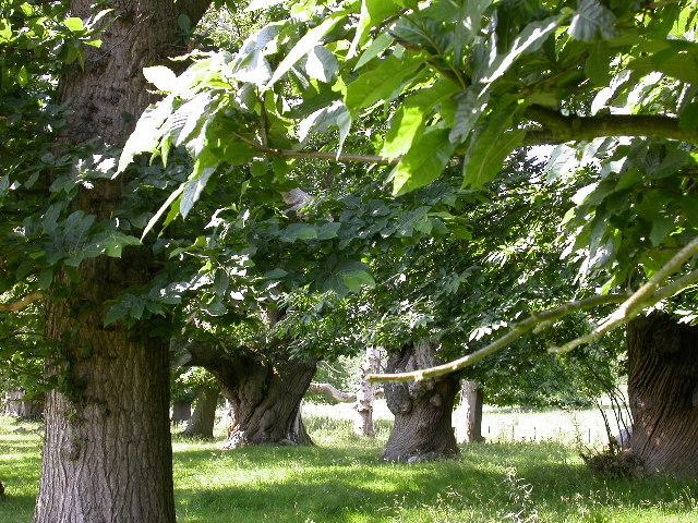 Triple Avenue of Sweet Chestnut Trees