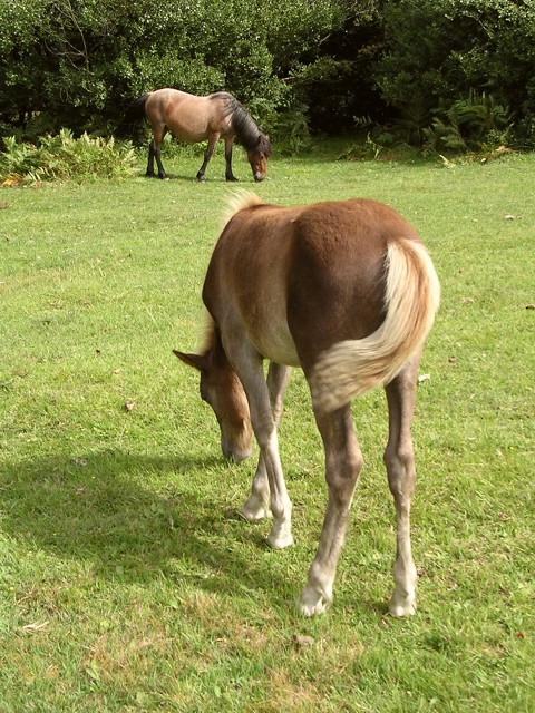 New Forest ponies grazing near Stricknage Wood, southwest of the Rufus Stone