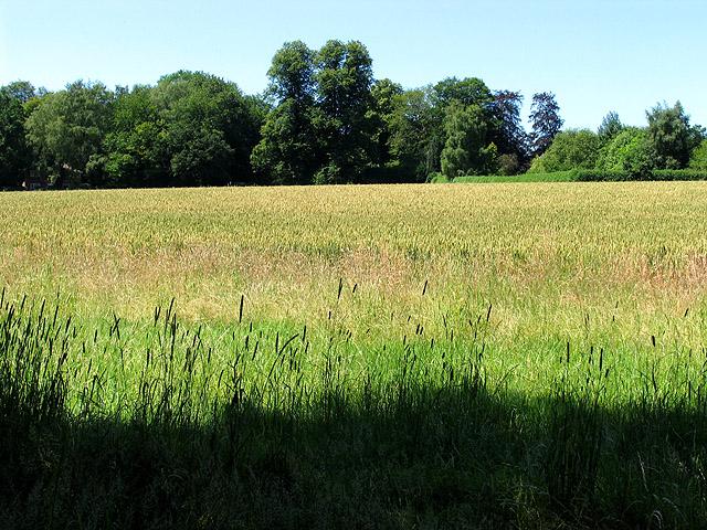 Wheat on Farmland between Goring Heath and Cane End