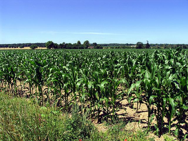 Cornfield near Tinkers Green