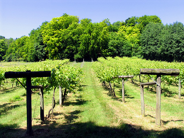 Vineyard at Bozedown near Whitchurch-on- Thames