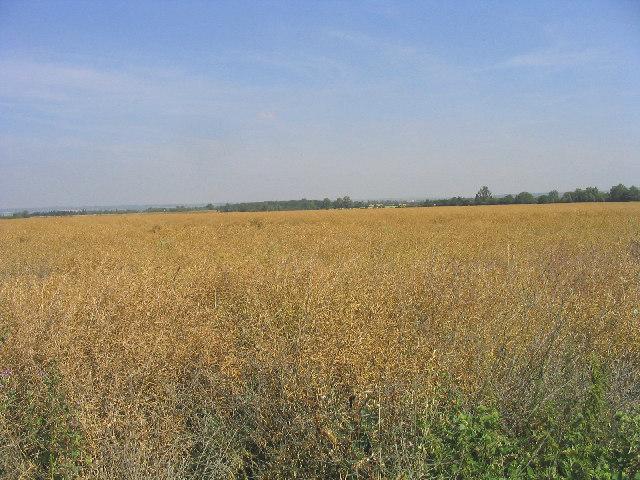 Oil Seed rape field, Orsett Fen, Essex