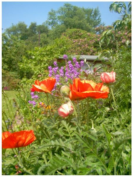 Poppies in Garden