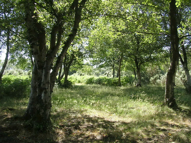In the shade of the silver birch trees, Godshill ridge, New Forest