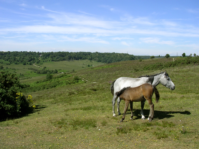 New Forest pony and foal at Gravel Pit Hill
