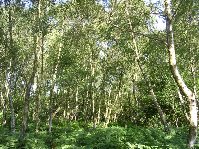 Silver birch trees at the Bramble Hill car park, New Forest