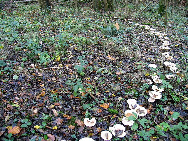Mushroom Ring in Woodland