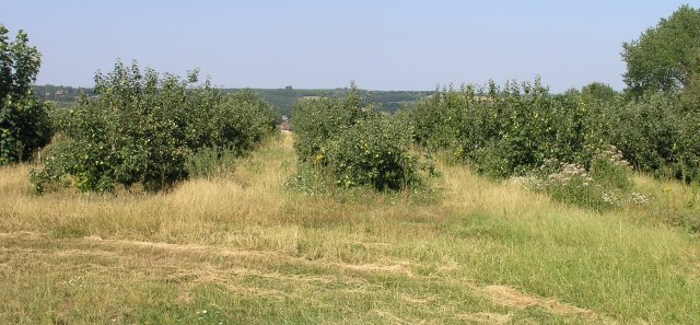 Kentish Apple Orchard