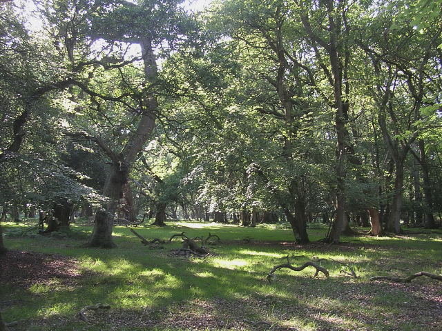 Broadleaved  woodland in summer, Denny Wood, New Forest