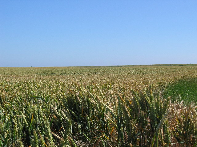 Skeffling Wheat field