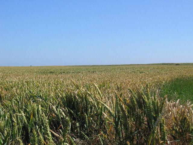 Skeffling Wheat field