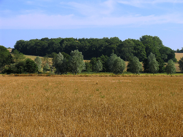 Wheat field and Bannisters Wood: Brimpton