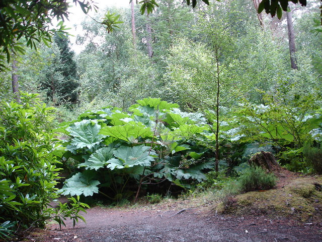 Gunnera in Inverewe Gardens
