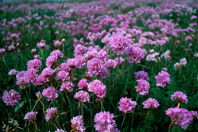 Sea pinks bob ford geograph britain and ireland sea pinks mightylinksfo
