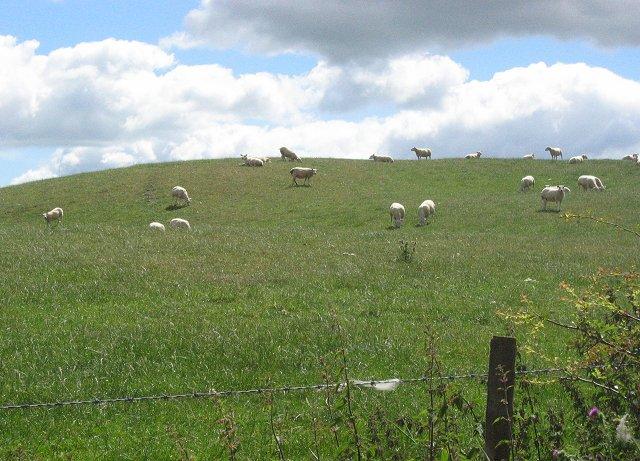 Sheep grazing, Parduvine.