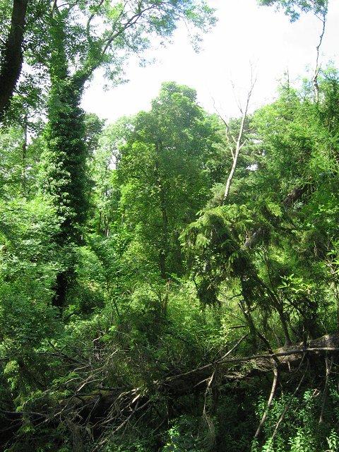 Windthrown woodland, Roslin Glen