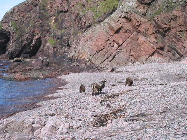 Wild goats browsing on Guirdil beach