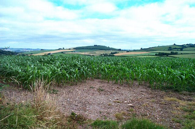 Maize in South Devon