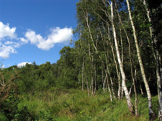 Silver Birch Woodland: Greenham