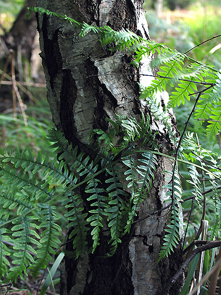 Silver Birch: Bark and Bracken