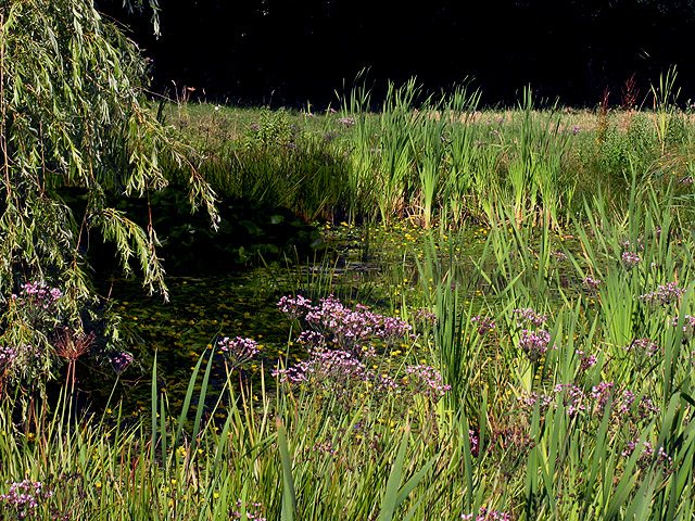 Pond Vegetation at Ecchinswell