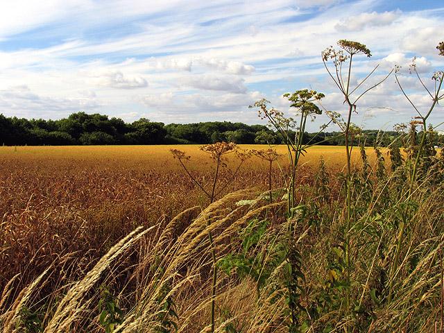 Barley Ready for Harvesting at Upper House Farm