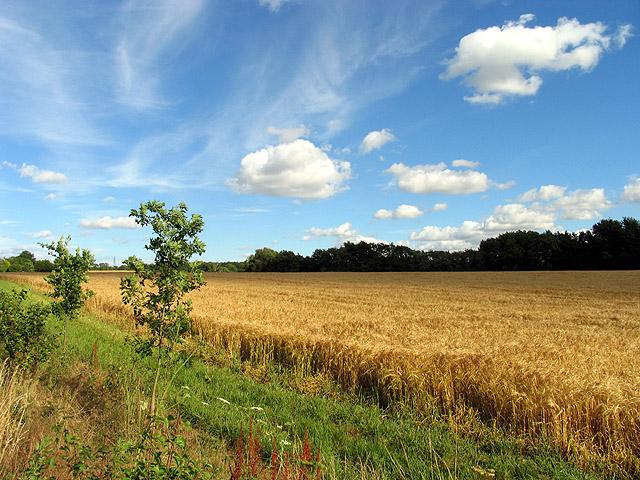 Barley Field at Plastow Green