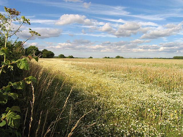 Daisy Strewn Poppy Seed Field