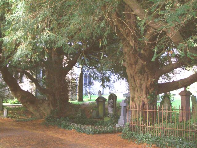 Bleeding Yew Trees, Nevern