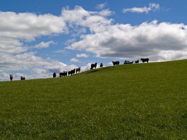 Cattle at Branton