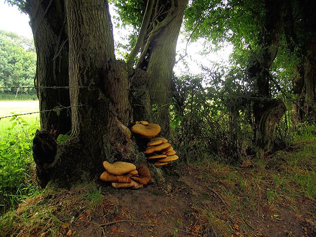Fungus on Oak Tree near Harridens Great Copse