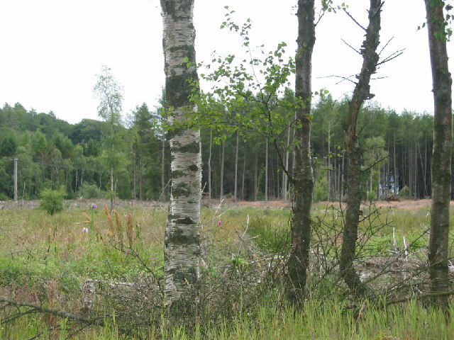 Gask Wood, near Garlogie