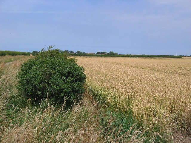 Wheatfield near Weeton
