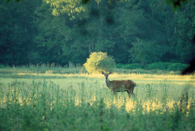 Fallow Deer at Queen's Meadow
