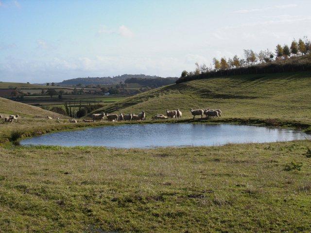 Sheep grazing by the pool nr Thorverton