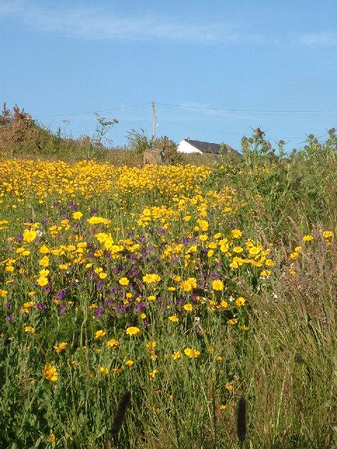 Cornish meadow