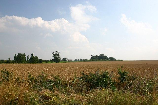 Wheat field in Flempton