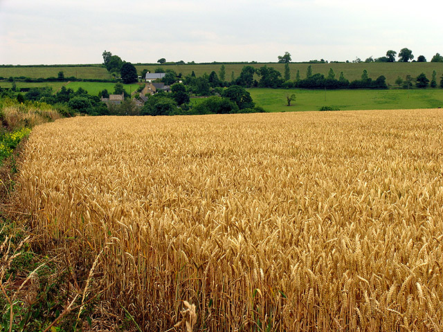 Wheat field near Lidstone