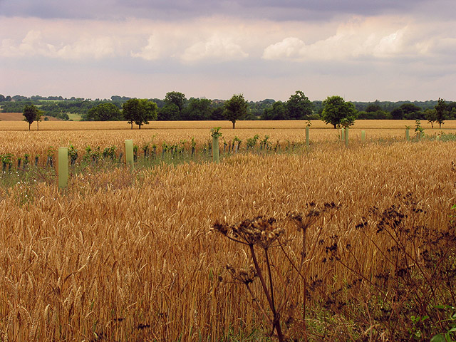 Wheat field near Southcoombe