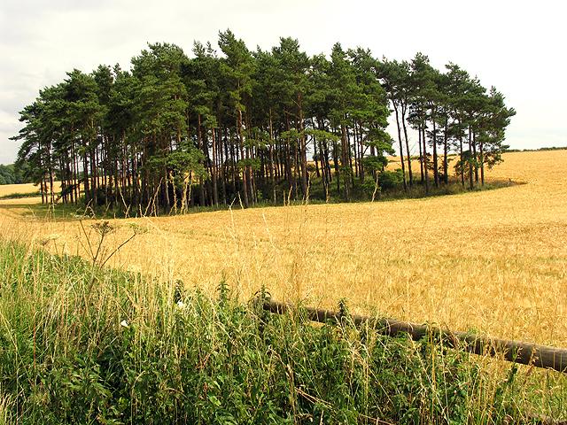 Barley near Bourton-on-the-Hill