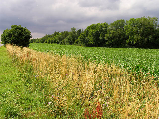 Corn near Bourton-on-the-Hill
