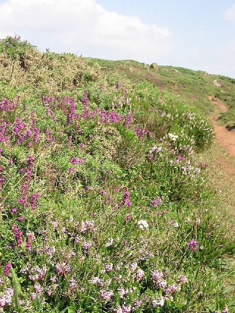 Managed Coastal Heathland on Chynhalls Cliff